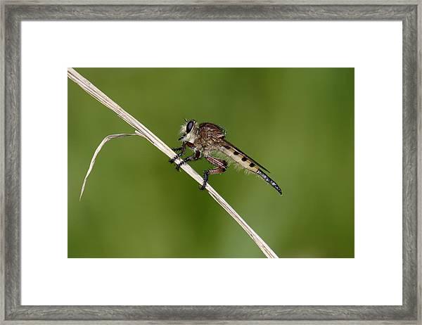 Giant Robber Fly - Promachus Hinei Framed Print