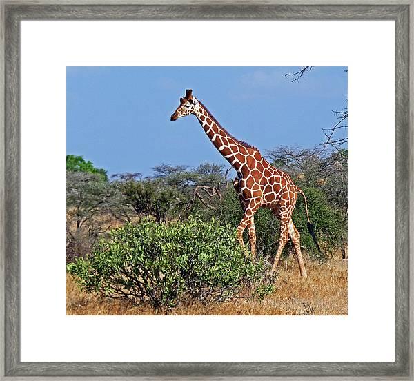Giraffe Against Blue Sky Framed Print