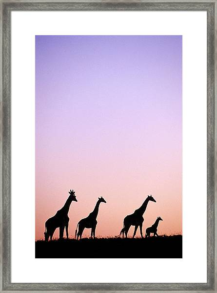 Giraffe At Sunset, Eastern Cape, South Africa Framed Print