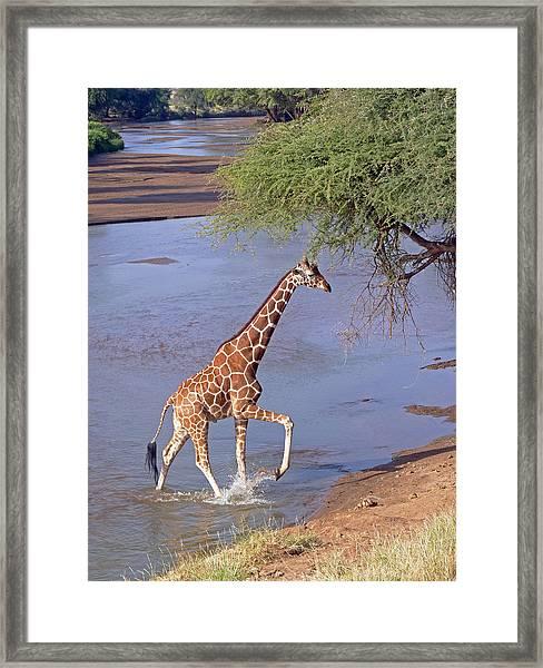 Giraffe Crossing Stream Framed Print