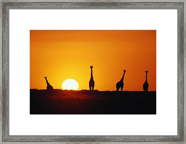 Giraffe Herd (giraffa Camleopardalis) Sunset, Silhouette Framed Print