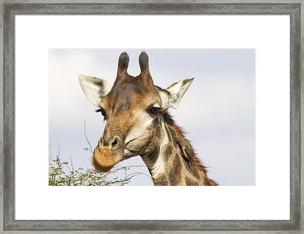 Giraffe With Oxpecker Framed Print