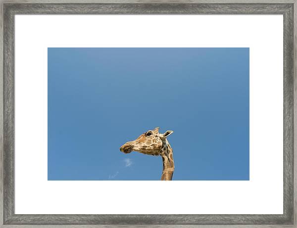 Giraffe's Head Framed Print