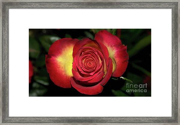 Glowing Rose Framed Print