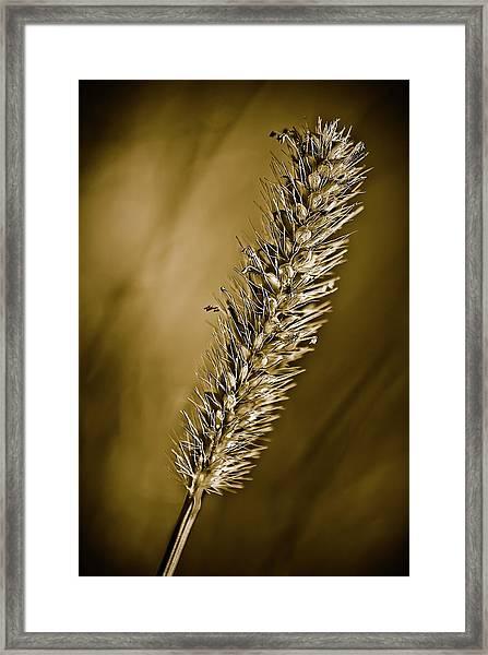 Grass Seedhead Framed Print