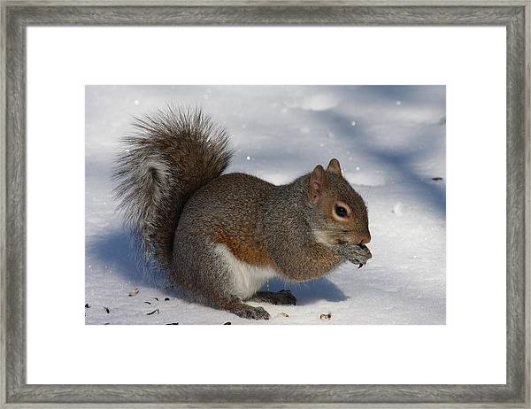 Gray Squirrel On Snow Framed Print