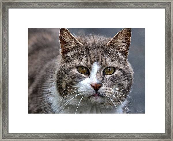Gray Tabby Tux Cat Framed Print