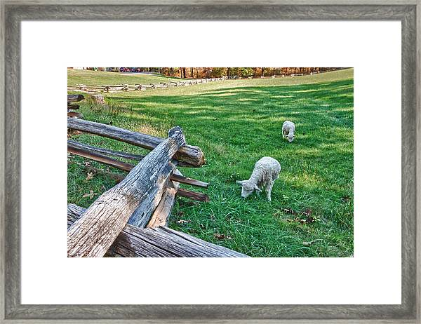 Grazing Farm Animals At Booker T. Washington National Monument Park Framed Print