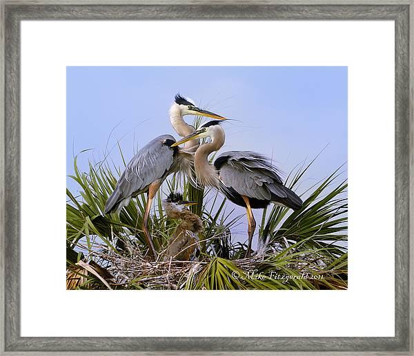 Great Blue Heron Family Framed Print