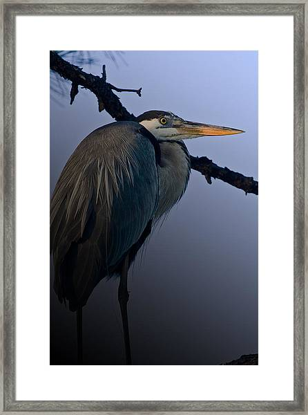 Great Blue Heron In The Tree Framed Print