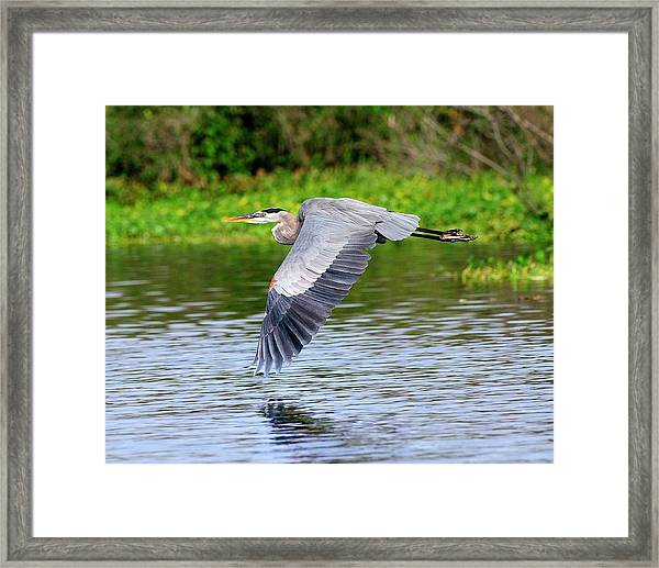 Great Blue Heron Inflight Framed Print