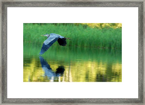 Great Blue Heron On Golden Pond Framed Print