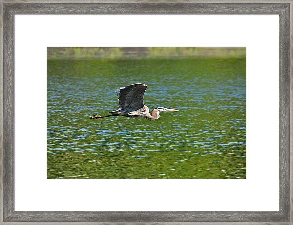 Great Blue Heron Reaching Cruise Altitude Framed Print