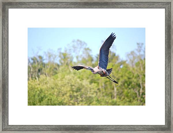 Great Blue Heron Underbelly Framed Print