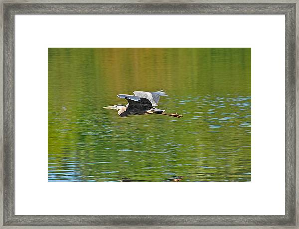 Great Blue Heron With Confidence Framed Print