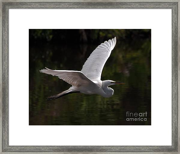 Great Egret Flying Framed Print