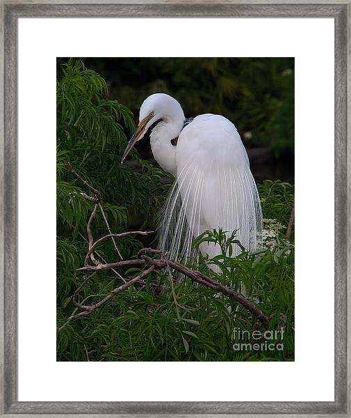 Great Egret Nesting Framed Print