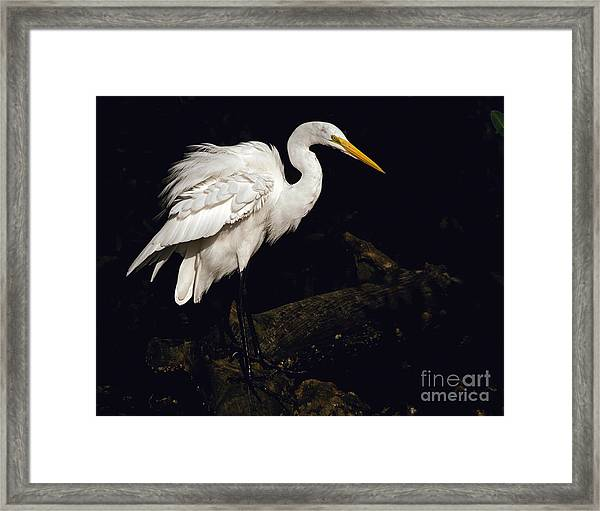 Great Egret Ruffles His Feathers Framed Print