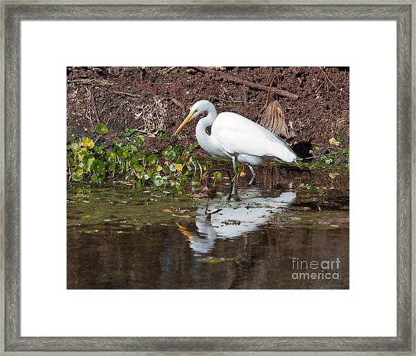 Great Egret Searching For Food In The Marsh Framed Print