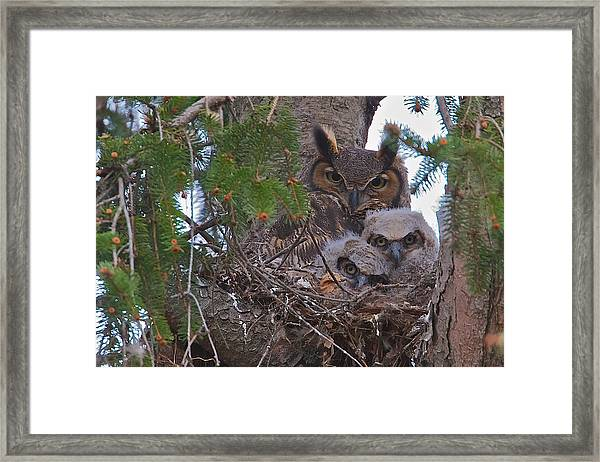 Great Horned Owl Nest Framed Print