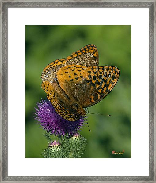 Great Spangled Fritillaries On Thistle Din108 Framed Print