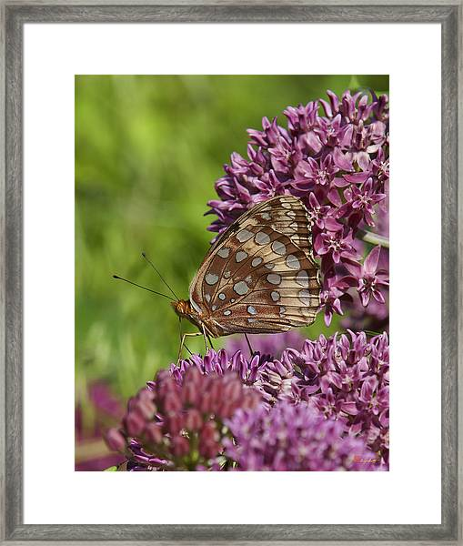 Great Spangled Fritillary Din194 Framed Print