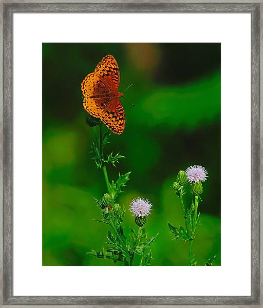 Great Spangled Fritillary Framed Print
