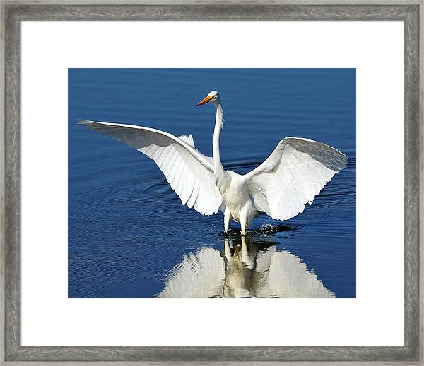 Great White Egret Spreading Its Wings Framed Print