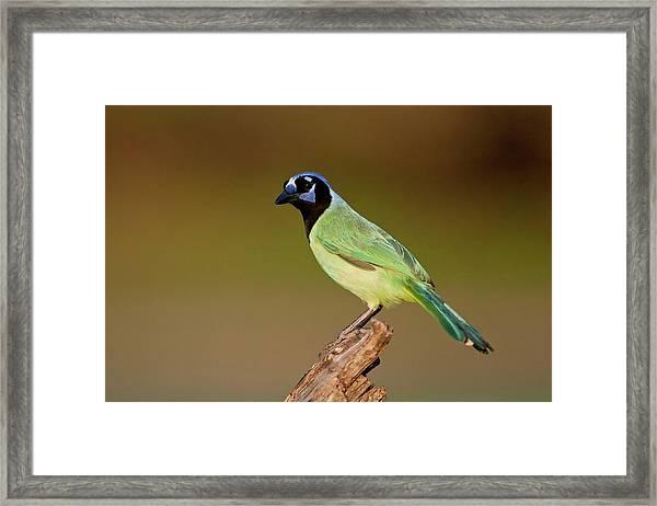 Green Jay 2 Framed Print