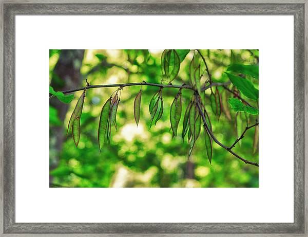 Green Redbud Seed Pods Framed Print