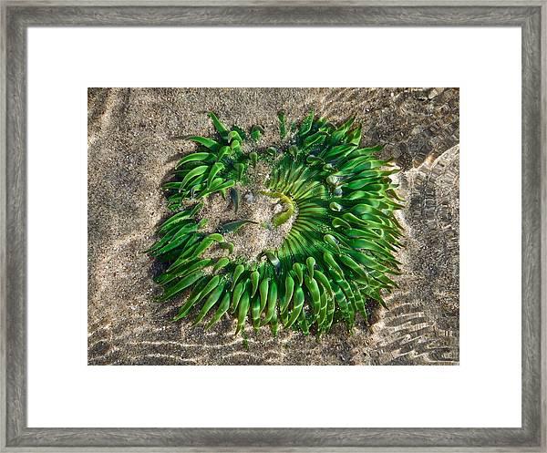 Green Sea Anemone Framed Print