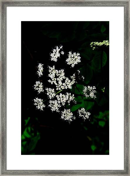 Ground-elder Framed Print
