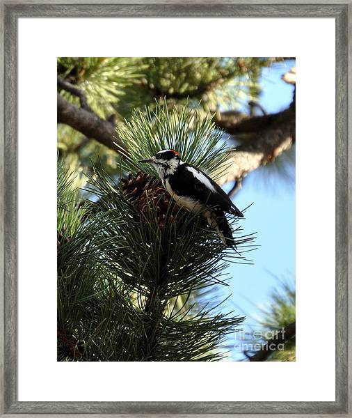 Hairy Woodpecker On Pine Cone Framed Print