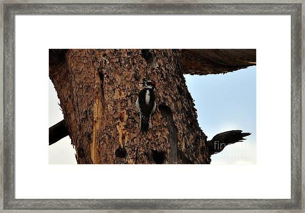 Hairy Woodpecker On Pine Tree Framed Print
