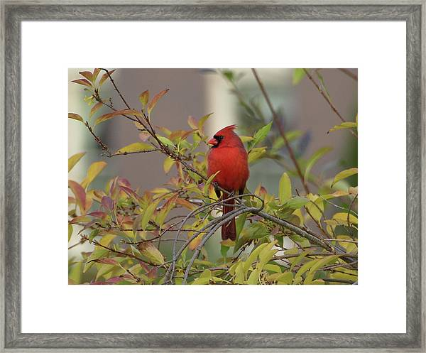 Handsome Cardinal Framed Print