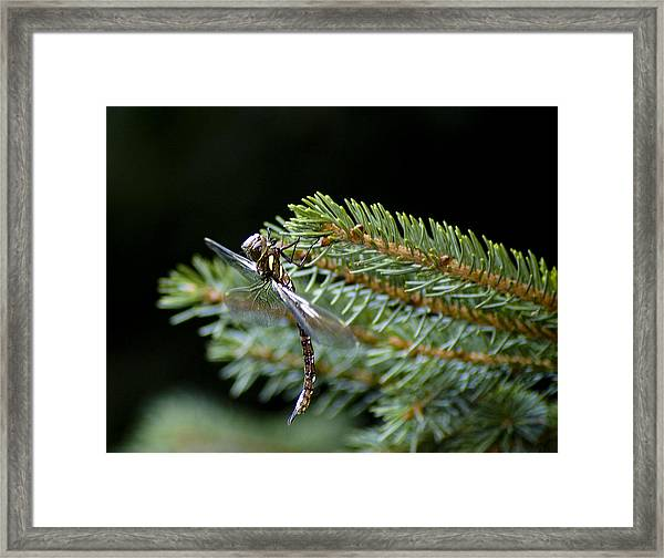 Hanging Around-fawn Darner Framed Print