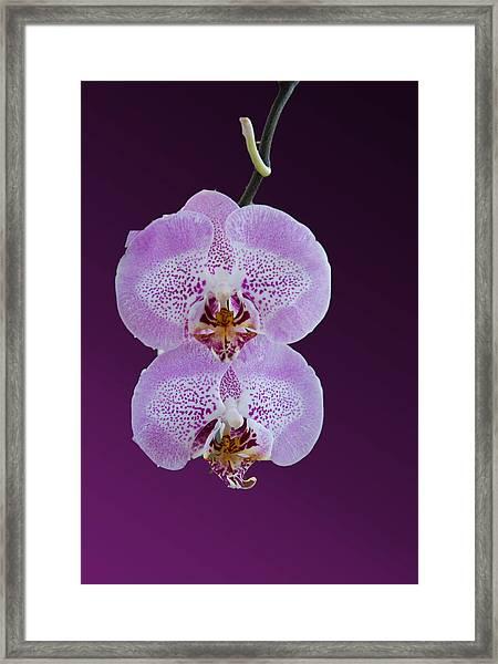 Hanging Orchids Framed Print