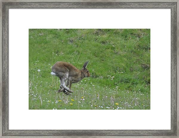 Hare I Come Framed Print