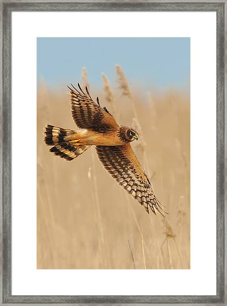Framed Print featuring the photograph Harrier Over Golden Grass by William Jobes