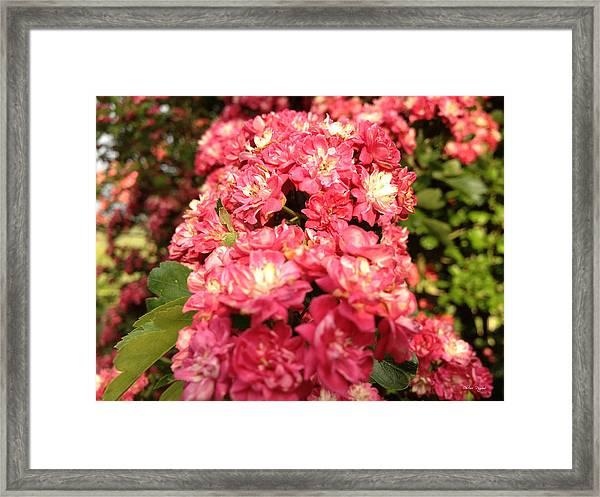 Hawthorn Flowers Framed Print