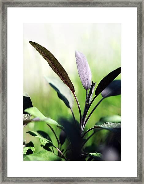 Herb Garden Purple Sage Framed Print