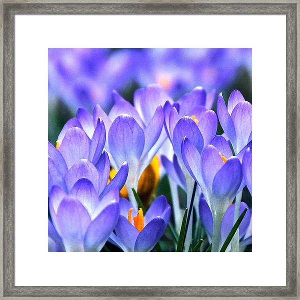 Here Come The Croci Framed Print