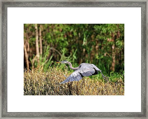 Heron Flying Along The River Bank Framed Print