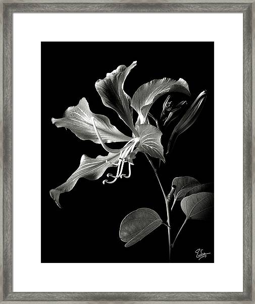 Hong Kong Orchid In Black And White Framed Print