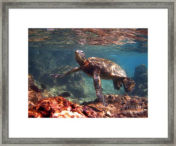 Honu In The Shallows Framed Print