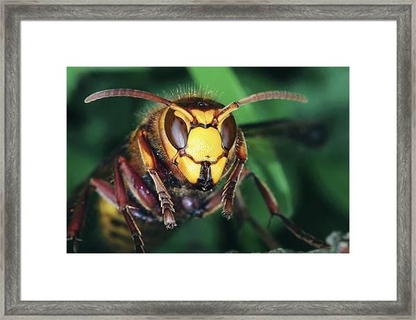 Hornet Head Framed Print