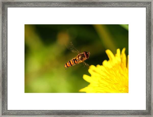 Hover Fly Framed Print