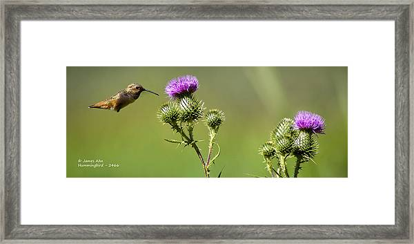 Hummingbird In Flight - Milkweed Thistle Framed Print