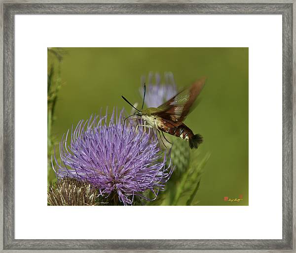 Hummingbird Or Clearwing Moth Din178 Framed Print