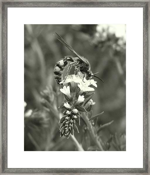 Hunter Wasp On Heliotrope Framed Print